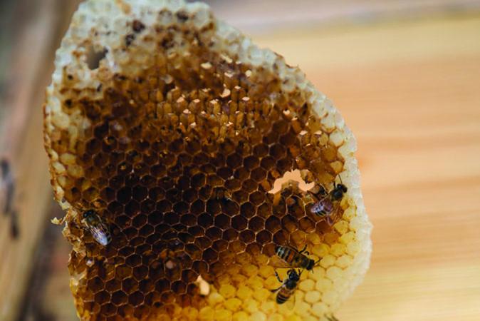 bee removal barbados